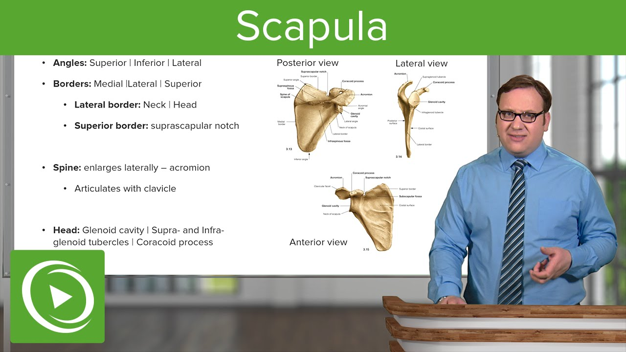 Scapula: Views & Surface – Anatomy | Lecturio