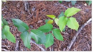 How to tell poison ivy from other plants.