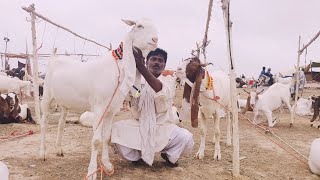 Asia s Biggest  livestock market part 1