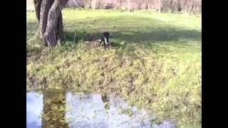 Working Gundog Puppy Training Water Retrieve
