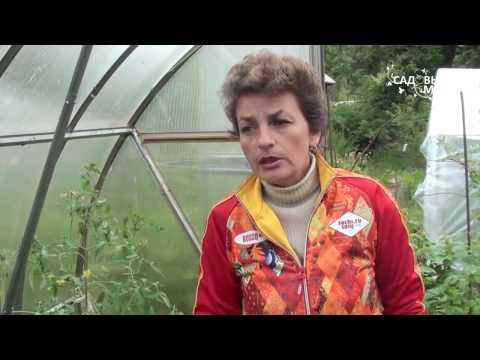 Как защитить томаты от фитофторы.Фитоспорин.Мастер класс по применению