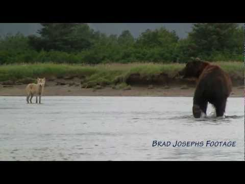 WOLVES FISHING FOR SALMON, Natural Habitat Adventures, Alask