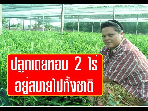 เกษตรพารวย : เตยหอม พืชราคาดี ที่ไม่ค่อยมีใครคิดถึง มีตลาดแล้วค่อยปลูกนะ