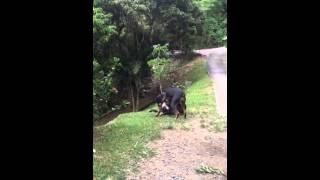 Doberman Pinscher Vs Pitbull