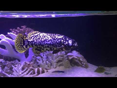 Queensland Grouper