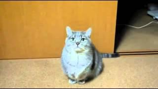 Кот просит поесть   Смешное видео