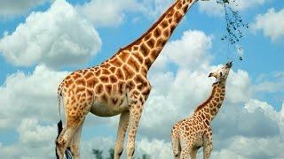 Красавец жираф 🐘Огромный слон🐦Московский зоопарк.