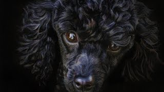 Drawing a Realistic Poodle in Colored Pencil | Tutorial