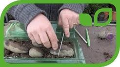 Kartoffeln vorkeimen - wie geht das?