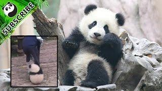 The Needy Panda Who Wants a Hug: Qi Yi