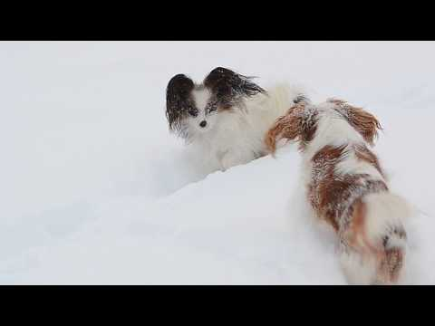 Dogs playing in snow, Cavalier King Charles Spaniels enjoying snow.