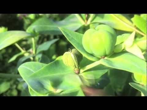 Bewegte Pflanzen Wolfsmilch1