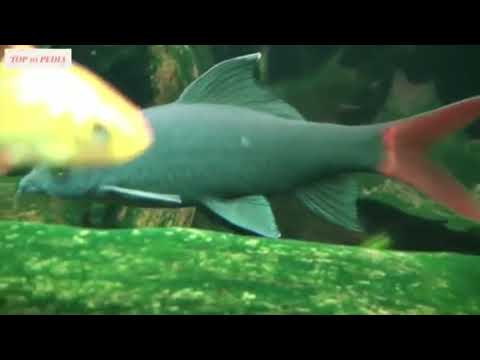 Ikan Hias Lucu Song Sholawat Asshigil