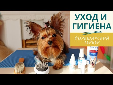 Ежедневный уход за йоркширским терьером (расчесывание йорка, как чистить глаза, уши и зубы собаке)