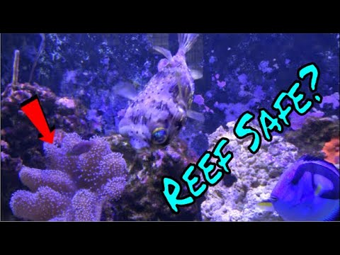 Are Porcupine Puffer Fish Reef SAFE?