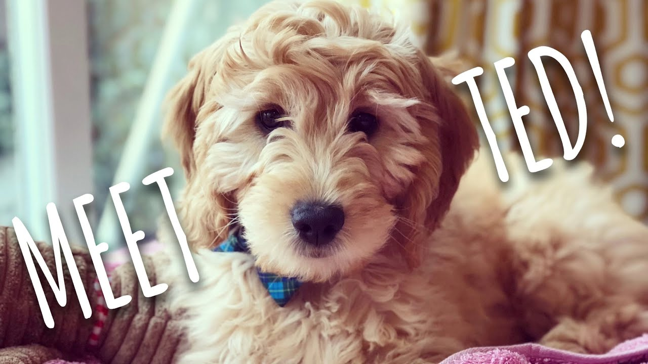 Week Old Miniature Goldendoodle Puppy