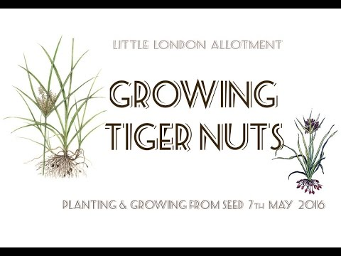 Planting Tiger Nuts - How to Grow & Plant  Chufa , Nut Grass , Yellow Nut Sedge From Seed.