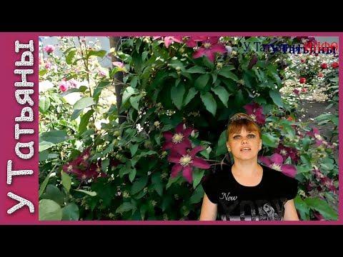 КЛЕМАТИСЫ для начинающих. Советы по выращиванию цветов.