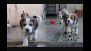 Excellent Show Line Beagle Puppies At Sangfroid Kennel