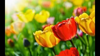 Apaixonantes tulipas. Flores estonteantes. thumbnail