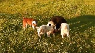 Щенки австралийской овчарки  Аусси