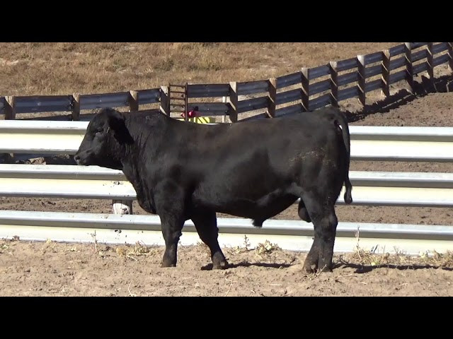 Connealy Angus Lot 112