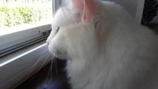 Turkish Van Chatters at the Birds