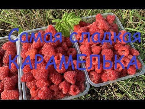 Сладкая малина Карамелька 10 сентября 19г в питомнике Школьный сад.