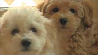Poochon Aka Bichon Poodle Aka Bichpoo Puppies