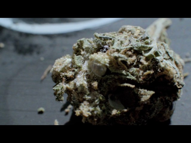 MAN!AC- KUSHNUGGETS (Official HD Video)