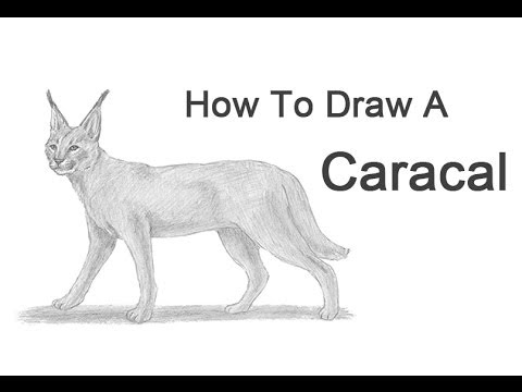 Caracal drawing - photo#22