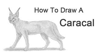 How to Draw a Caracal