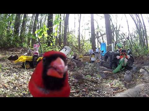 BIRD WATCHING - A Male and Female Northern Cardinal visit Piglet