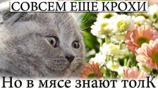 Британские котята милые, забавные, смешные пушистые комочки