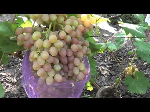 Сорта винограда. Кишмиш Лучистый. Виноград 2014.