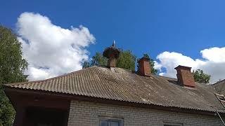 Метис немецкой овчарки. и ЗСЛ. Кучум