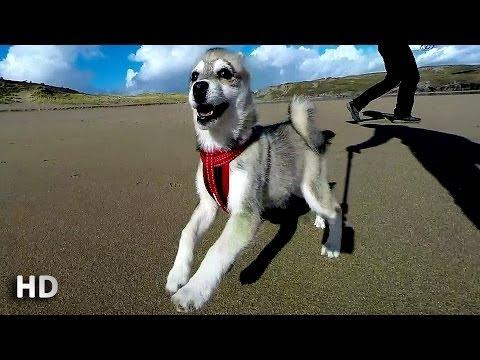 "Channel Introduction Alaskan Klee Kai "" Ashka ""& GoPro 3+"