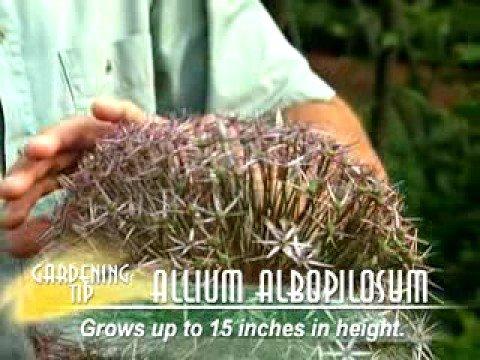 Allium Albopilosum