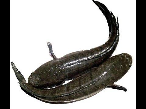 mô hình nuôi cá lóc trong lưới