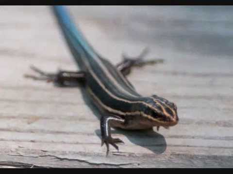 Amazing Reptiles: The Blue Tailed Skink - YouTube - photo#43