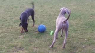 Dexter Doberman & Sebastian Weimaraner At A & B Dogs Boarding & Training Kennels.