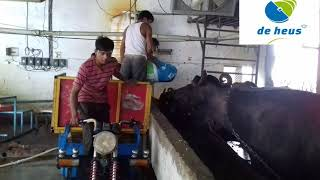 Deheus feed user commercial dairy farm in uttar pradesh india.(2)