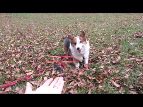 Corgi Puppy Dog and a RC Helicopter