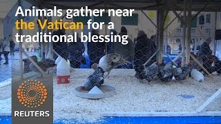 Blessings for animals near the Vatican