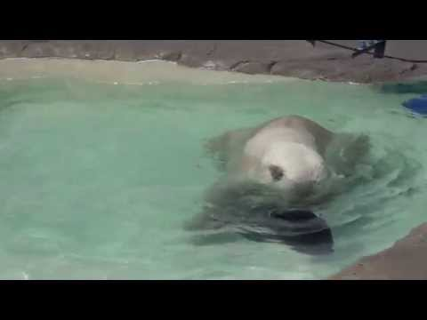 Denali the polar bear is relaxing himself in the water, at Sapporo Maruyama Zoo, Japan
