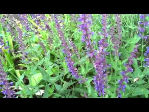 Bees Love Purple Salvia!  #lowmaintenance #flowers