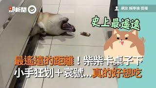 柴犬卡在桌下 吃不到零食 小狗掌狂划 哀號|寵物|柴柴