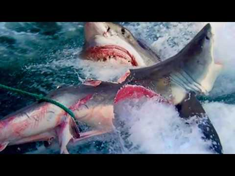 great white shark vs shark youtube
