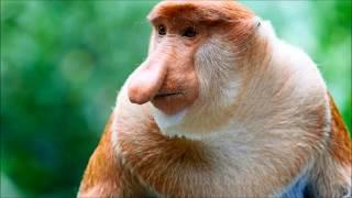 TYPOWY NOSACZ SUNDAJSKI (NASALIS IARVATUS) - Zwierzęta Bez Tajemnic #3