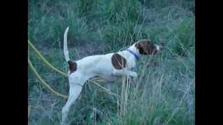 English Pointer Elhew Female Puppy 13 Training Sunrise   Kennels 520-907-5690
